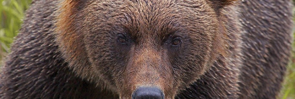 Grizzly Bear - Alaska Wildlife